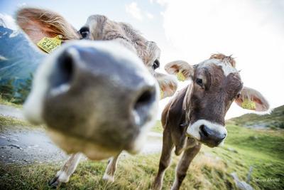 NATUR IM AHRNTAL -glückliche Kühe - so weit das Auge reicht